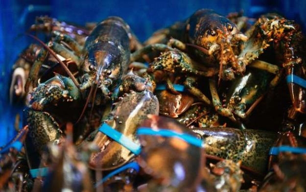 Gaffkaemia and how it's affecting the lobster population...