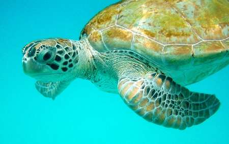 Why our sea turtles are disappearing (hint: it has...
